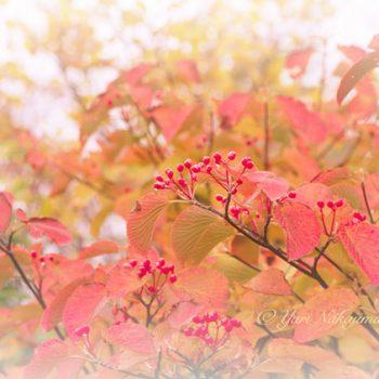 オオカメノキの紅葉