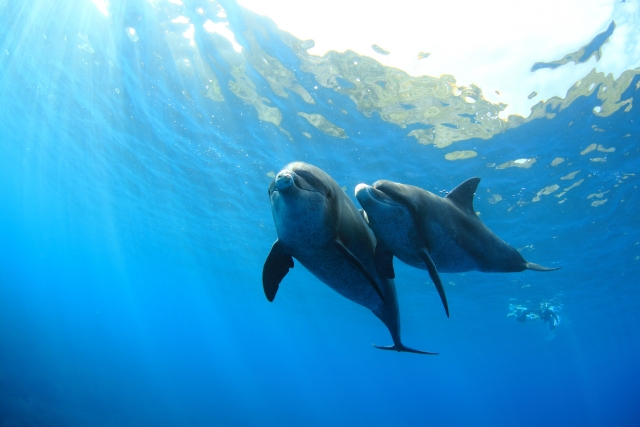 寄り添って泳ぐイルカ2頭